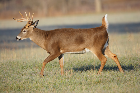 white tail deer: A white-tailed deer buck moving across a field.