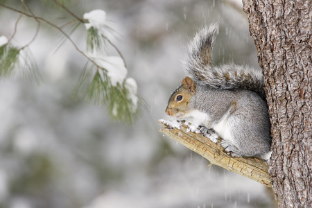 A gray squirrel in a winter scene