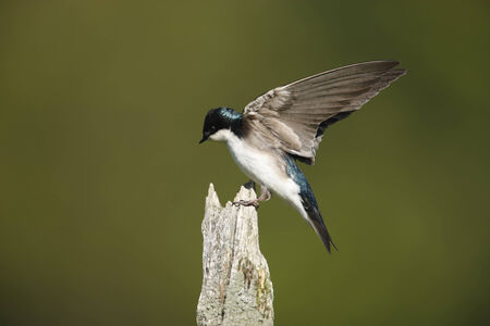 A tree swallow with its wings open