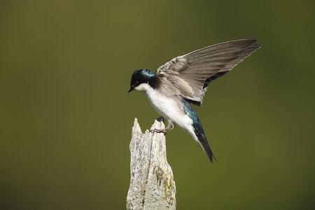 Een boom zwaluw met zijn vleugels open Stockfoto