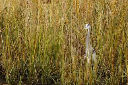 A great blue heron perched in tall grass
