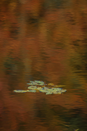 Lily pads in a pond with a warm reflection Stock Photo