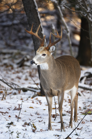 A white-tailed deer in a winter setting in Virginias Shenandoah National Park.