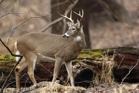 A white-tailed deer buck in the forest Stock Photo