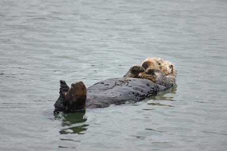 A Sea otter off the Californian Coast