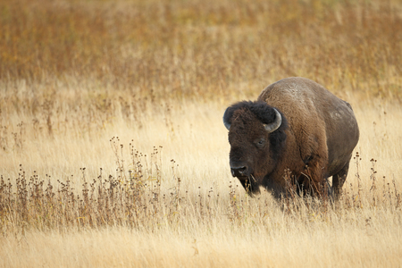 An American Bison or Buffalo