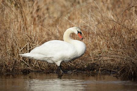 swampland: A mute swan