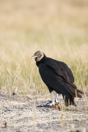 A black vulture