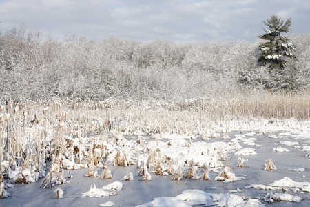 swampland: A freshwater marsh in winter