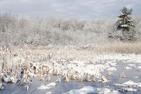 A freshwater marsh in winter