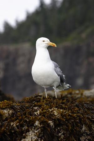 A herring gull on the Maine coast