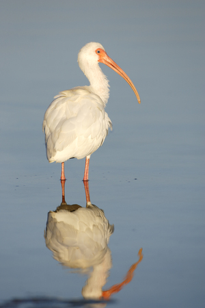 A White Ibis wading in water. Stock Photo