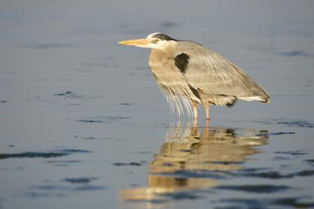 herodias: Great Blue Heron Stock Photo
