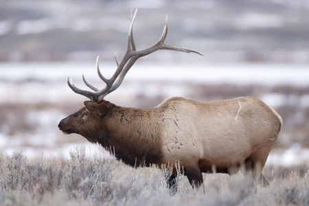 wapiti: A bull elk in a winter scene. Stock Photo