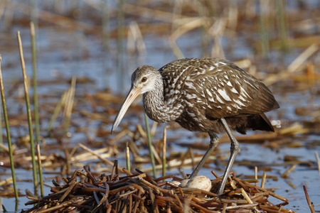 swampland: A limpkin on its nest