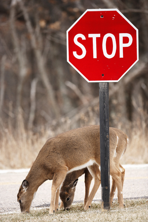 whitetailed: Two white-tailed deer feeding under a stop sign Stock Photo