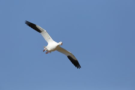 A snow goose in flight over the Bosque del Apache National Wildlife Refuge.