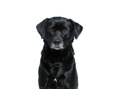 Un lindo perro negro sobre un fondo blanco Foto de archivo