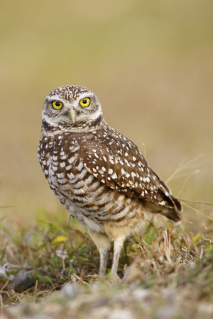 A perched Burrowing owl