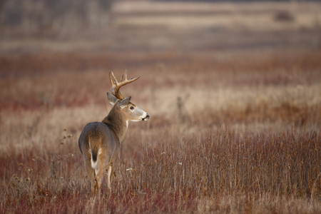 A white-tailed deer buck standing in an open meadow Foto de archivo - 97377893