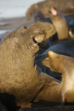 Northern elephant seals mating behavior