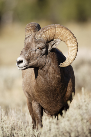 A bighorn sheep ram