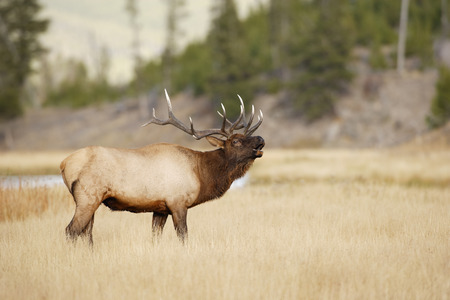 A bull elk bugling