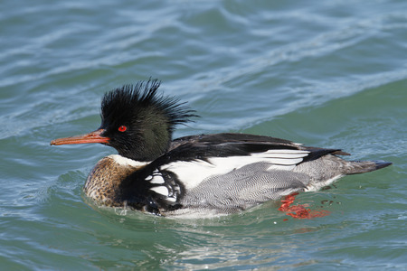 A common merganser duck on the water