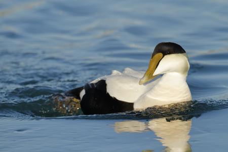 A Common Eider duck