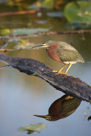 A Green-backed Heron perched in Everglades National Park Banco de Imagens