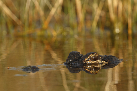 A large american alligator in the swamp. Stock Photo