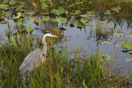 A Great Blue Heron in the Florida Everglades Reklamní fotografie