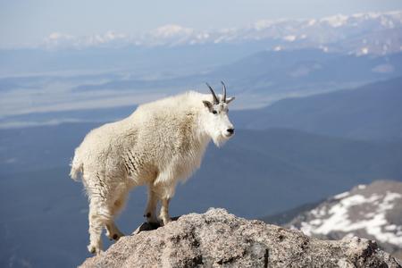 A mountain goat high on a mountain ridge