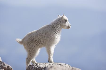 A kid mountain goat