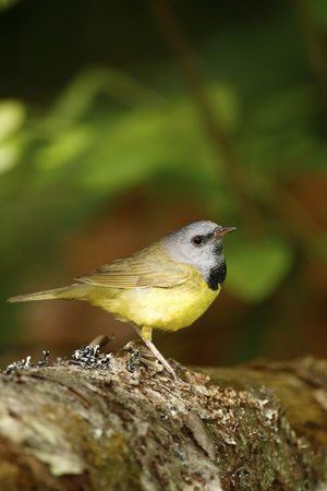 A Mourning Warbler. 免版税图像