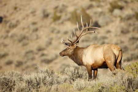 A large male elk in sagebrush.
