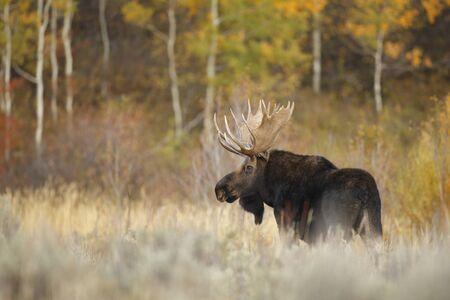 A bull moose outside with autumn foliage.