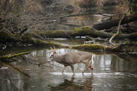A white-tailed deer walking in a swamp 스톡 콘텐츠