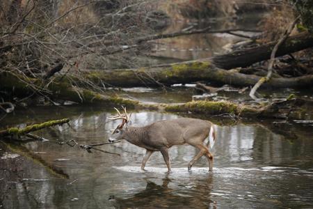 A white-tailed deer walking in a swamp Foto de archivo