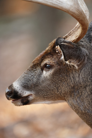 A white-tailed deer close up