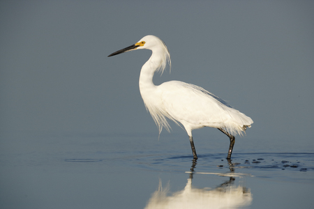 A snowy egret in the Merritt Island National Wildlife Refuge.