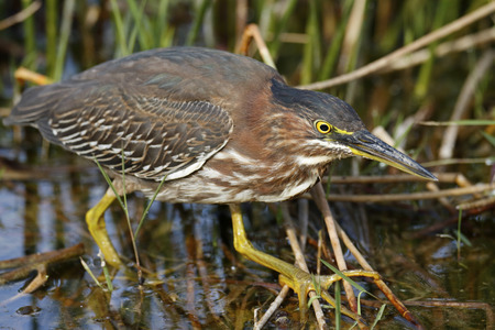 A green heron wading in the Florida Everglades