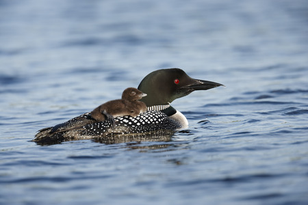 A common loon with a chick on its back