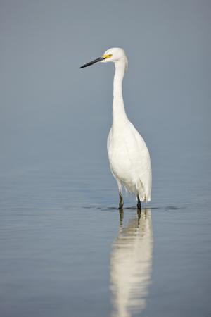 A Snowy Egret in water