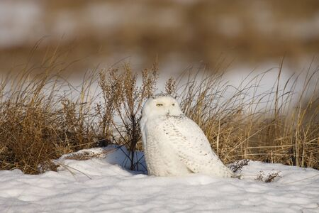 A snowy Owl in a natural winter setting Stock fotó