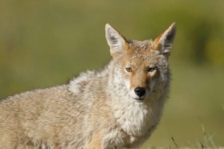 A Coyote Stock Photo
