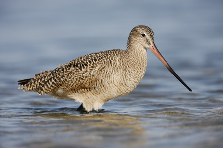 A Marbled Godwit wading in a tidal pool.