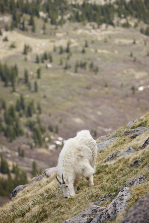 A mountain goat in the Rocky Mountains