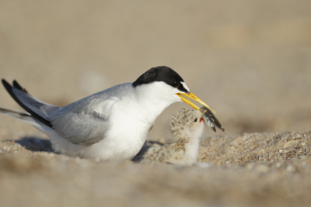 A least tern feeding its chick.