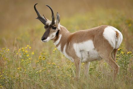 Een Gaffelbok antilope